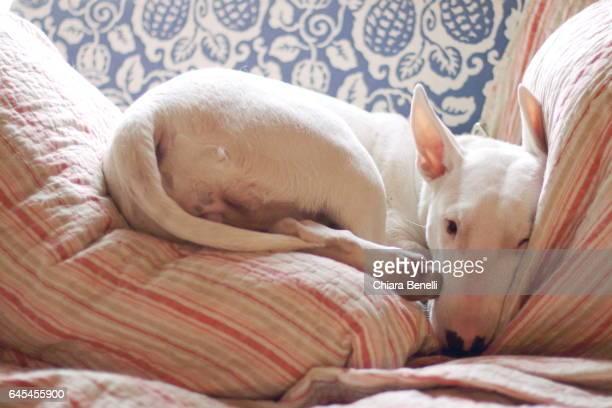 bull terrier sleeps on the sofa