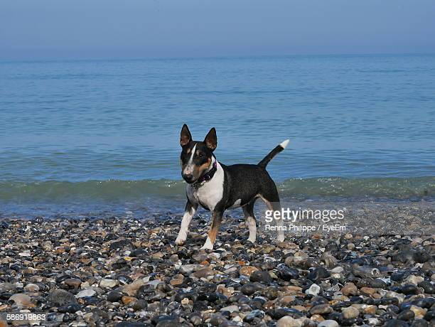 bull terrier standing on beach - bull terrier stock photos and pictures