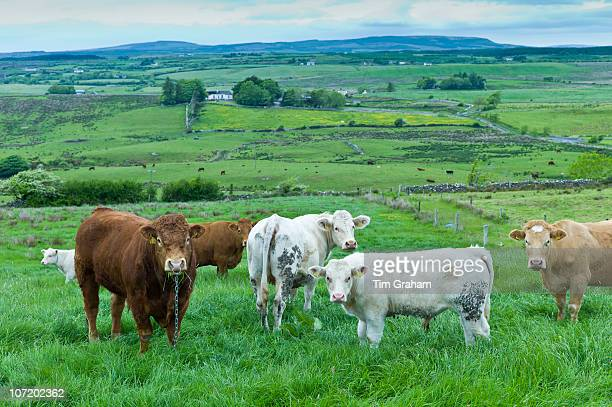 Bull tethered with nose ring and chain in with herd of cows in County Clare Ireland