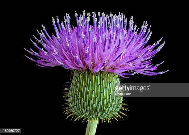 Bull Thistle Flower