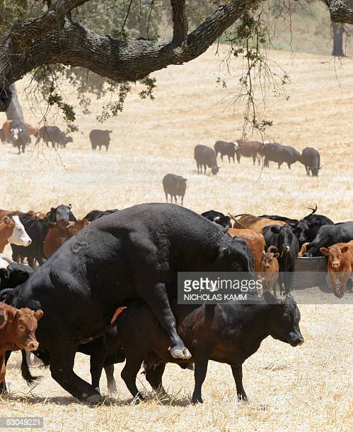 Bull unsuccessfully attempts to mount a cow 09 June 2005 in a field outside the central Californian town of Los Olivos, near US pop star Michael...