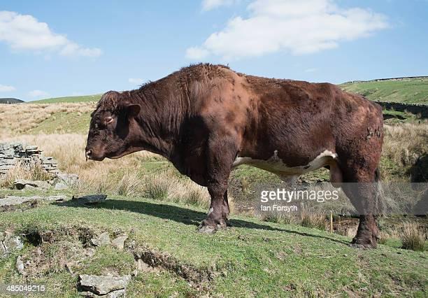 A bull waits to be fed at Ravenseat the farm of the Yorkshire Shepherdess Amanda Owen on April 15 2014 near Kirkby Stephen England Amanda Owen runs a...