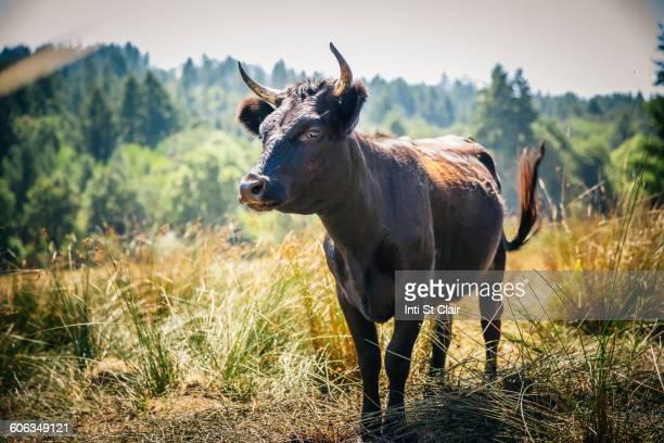 Bull walking in rural field