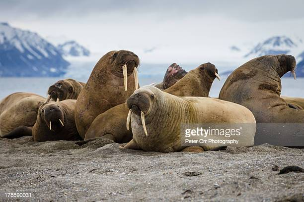 bull walrus group - walrus stock photos and pictures