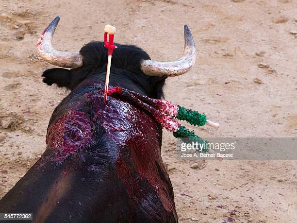 Bull with a sword stuck with a wound filled with blood