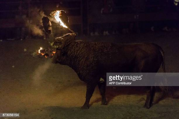 A bull with flammable balls attached to its horns is pictured during the Toro de Jubilo festival in Medinaceli near Soria Spain on November 11 2017...