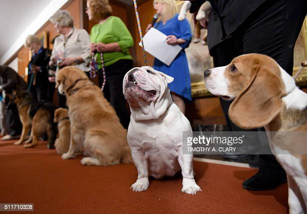 A Bulldog and other breeds pose for photographers during a news conference February 22 2016 in New York at the American Kennel Club who revealed its...