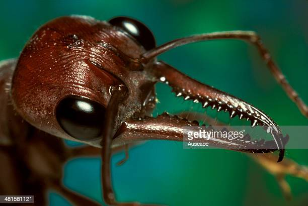 Bulldog ant Myrmecia brevinoda mandibles the tenacity with which bulldog ants use their long spiky mandibles to seize and hold prey before stinging...