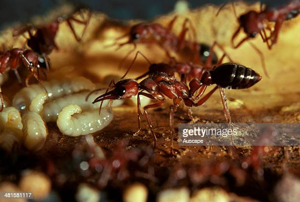 Bulldog ant Myrmecia brevinoda queen showing wing muscles in artificial nest chamber with workers Australia