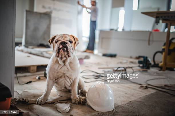 bulldog at construction site! - reform stock pictures, royalty-free photos & images