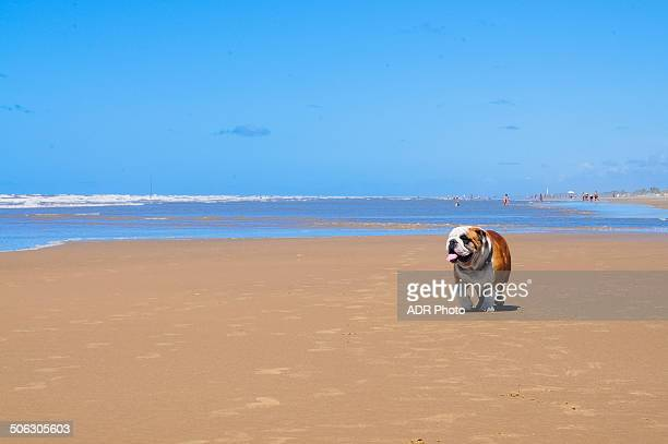 bulldog at the beach - brasil sergipe aracaju - fotografias e filmes do acervo