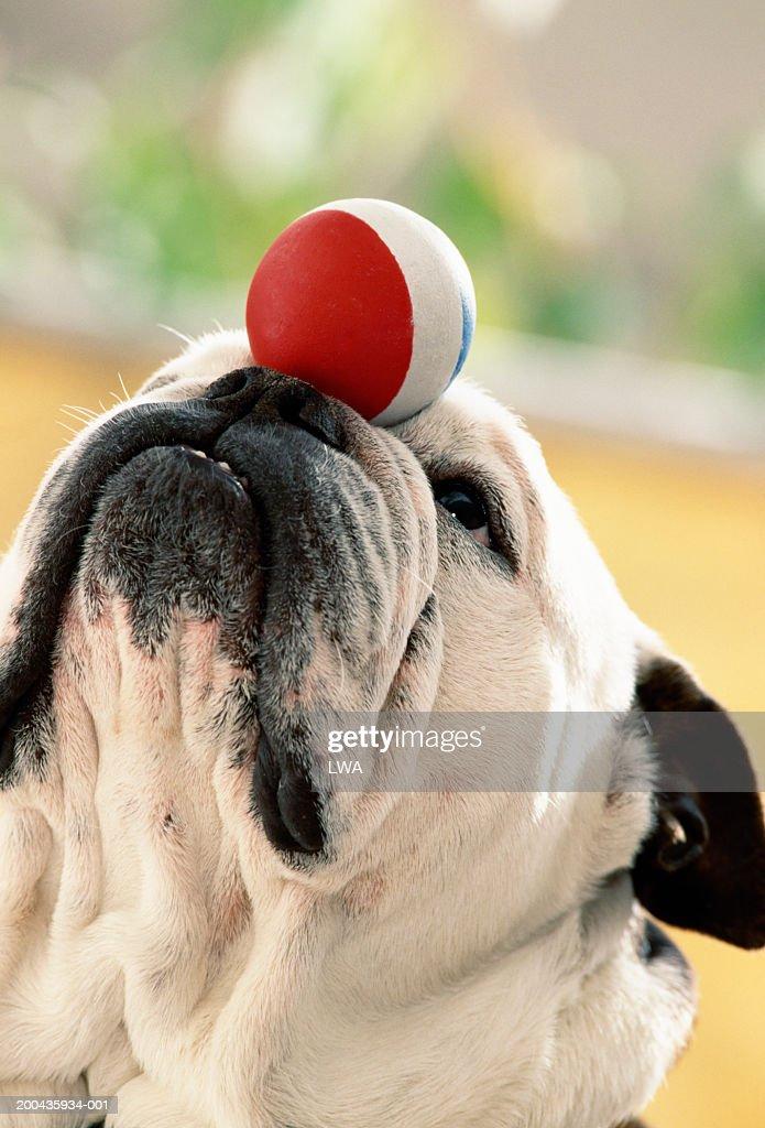 Bulldog balancing ball on snout, close-up : Stock Photo