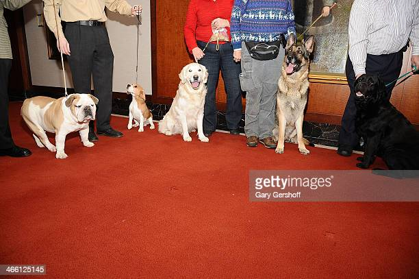 A Bulldog Beagle Golden Retriever German Shepherd and Black Labrador Retriever seen during the American Kennel Club's Most Popular Breeds 2013 press...