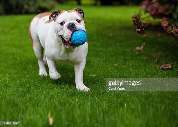 bulldog bitting toys