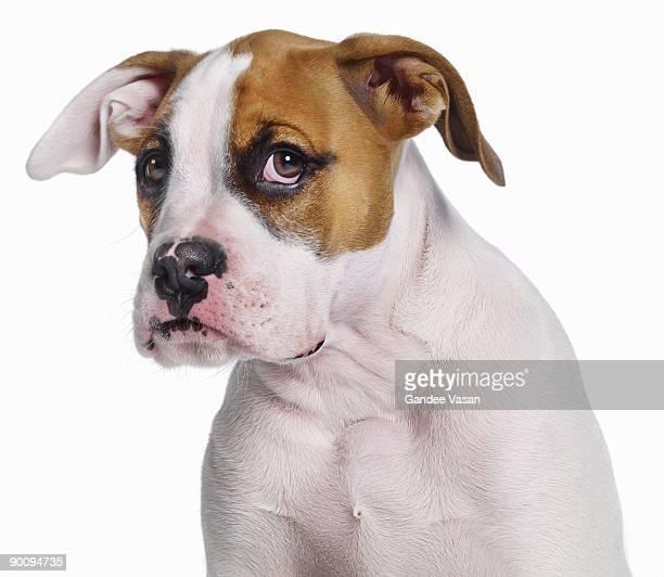 Bulldog Boxer cross
