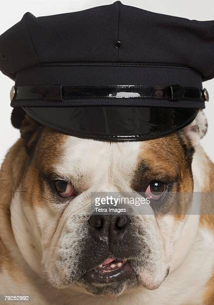 bulldog dressed as a policeman - dog cruelty stock pictures, royalty-free photos & images