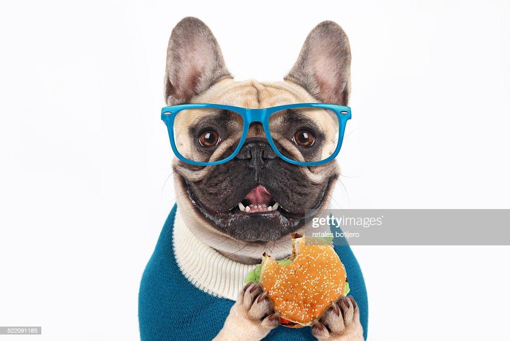 Bulldog eating hamburger : Stock Photo