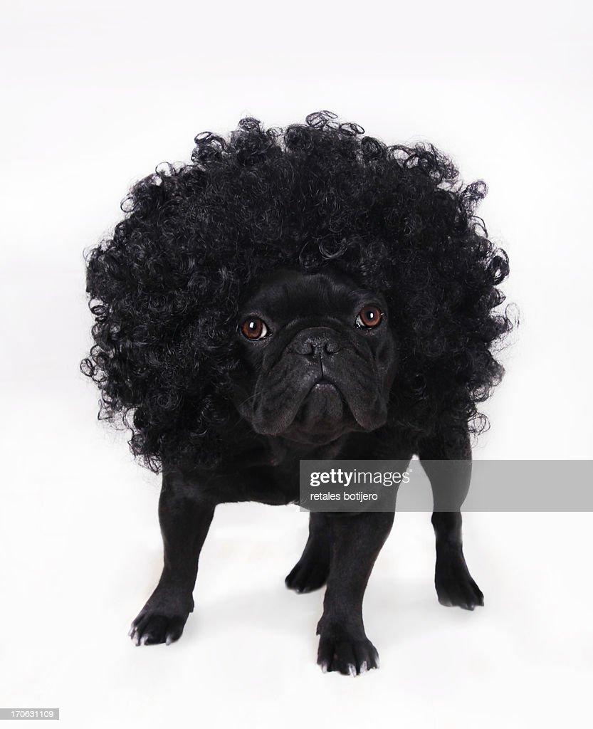 purenudisthost -1 -img -2004 bulldog frances negro con peluca rizada