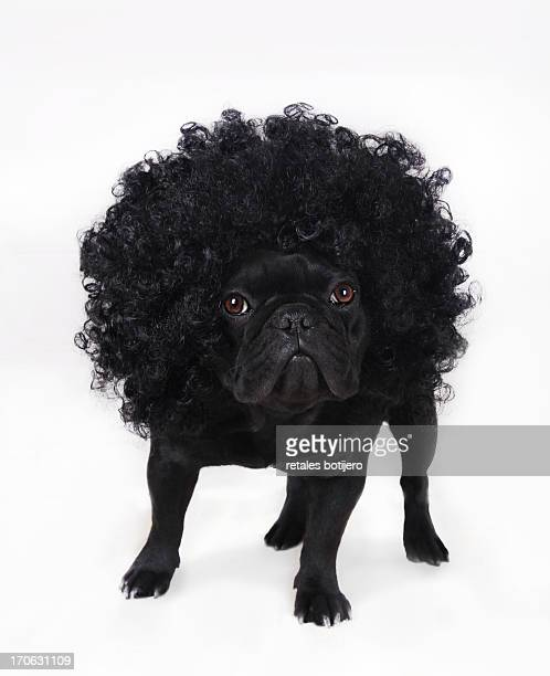 bulldog frances negro con peluca rizada