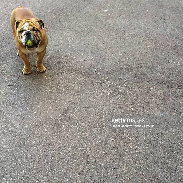 Bulldog Holding Tennis Ball In Mouth