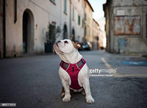 Bulldog in Tuscany looks around