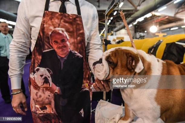Bulldog is groomed before participating in the 144th annual Westminster Kennel Club Dog Show on February 10 2020 in New York City The show brings...