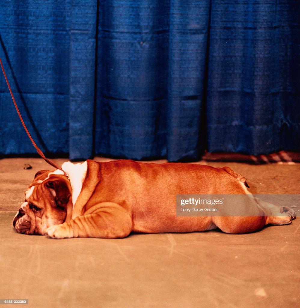 Bulldog Lies on Stage : Stock-Foto