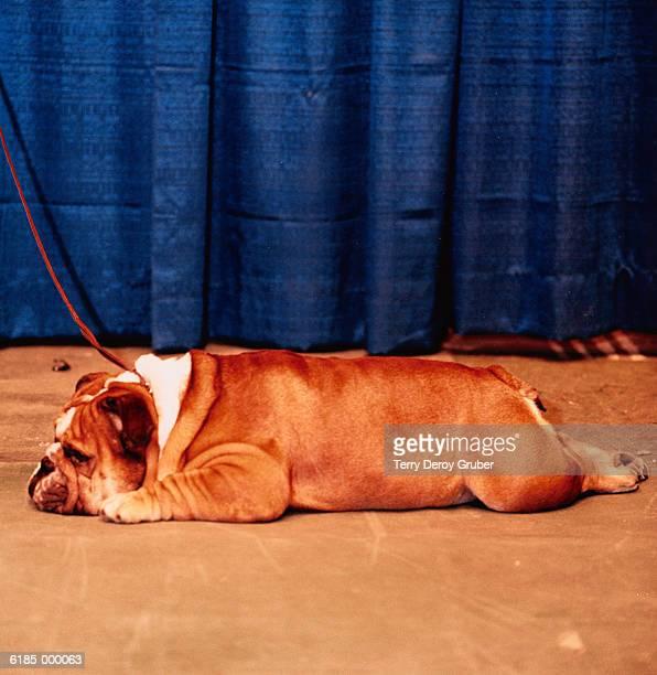 Bulldog Lies on Stage
