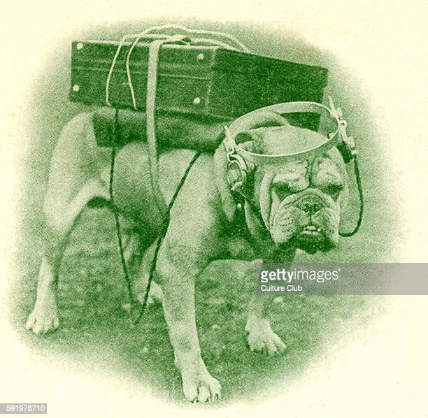 Bulldog listening to a portable wireless Caption reads 'Ready to 'listen in' for his master's voice' Photograph from central news