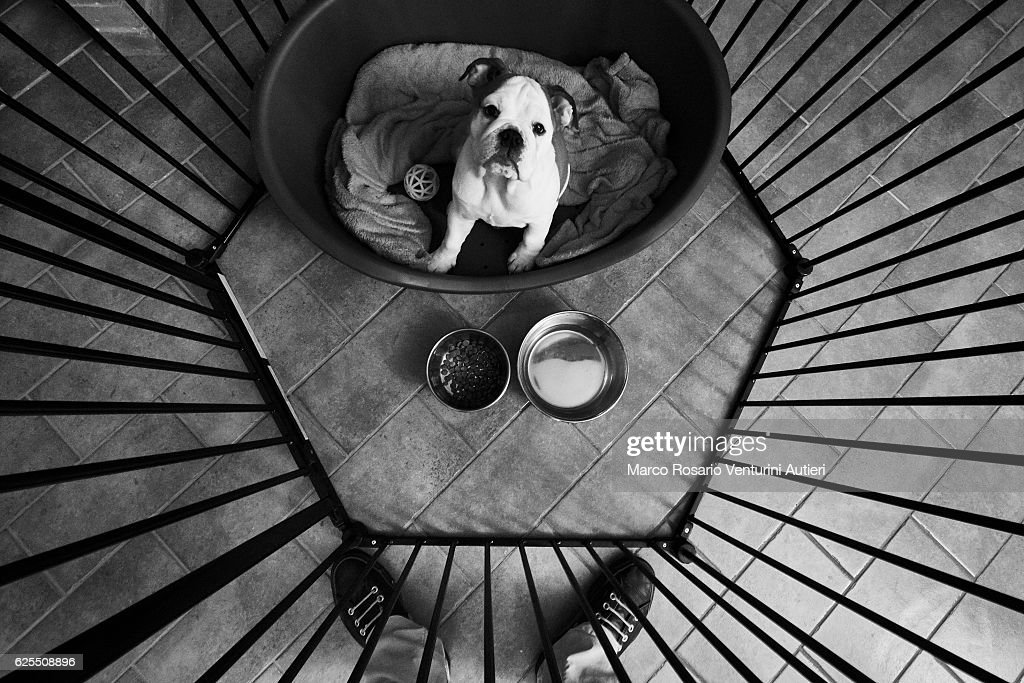 Bulldog looks up at her owner at feeding time : Stock Photo