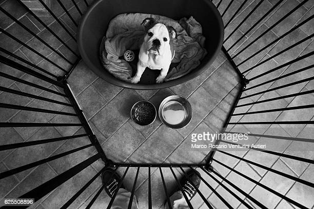 Bulldog looks up at her owner at feeding time