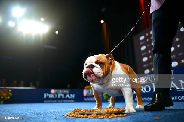Bulldog named Thor wins the Best in Show at the Greater Philadelphia Expo Center on November 16 2019 in Oaks Pennsylvania Featuring over 2000 dog...