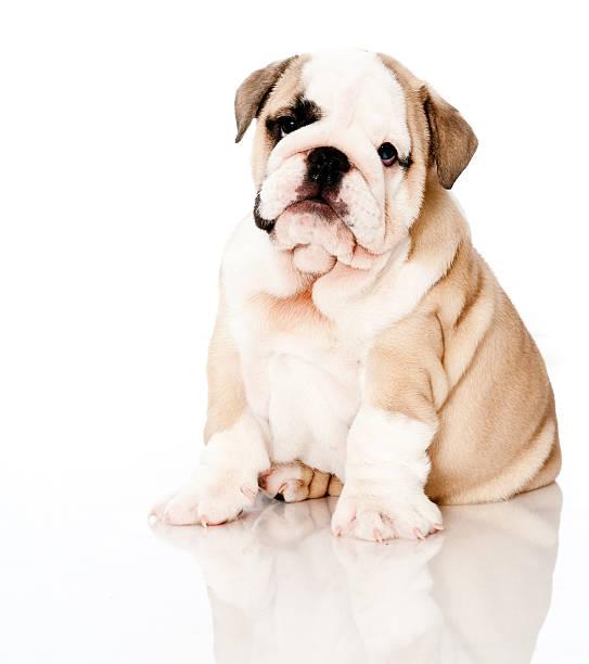 Bulldog on high key background