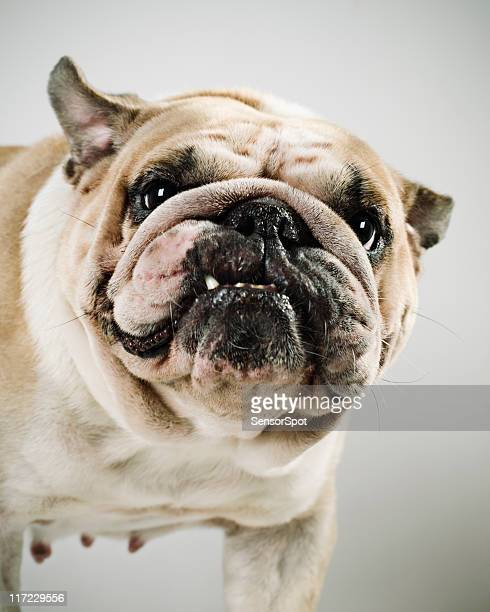 bulldog - ugly dog stock photos and pictures