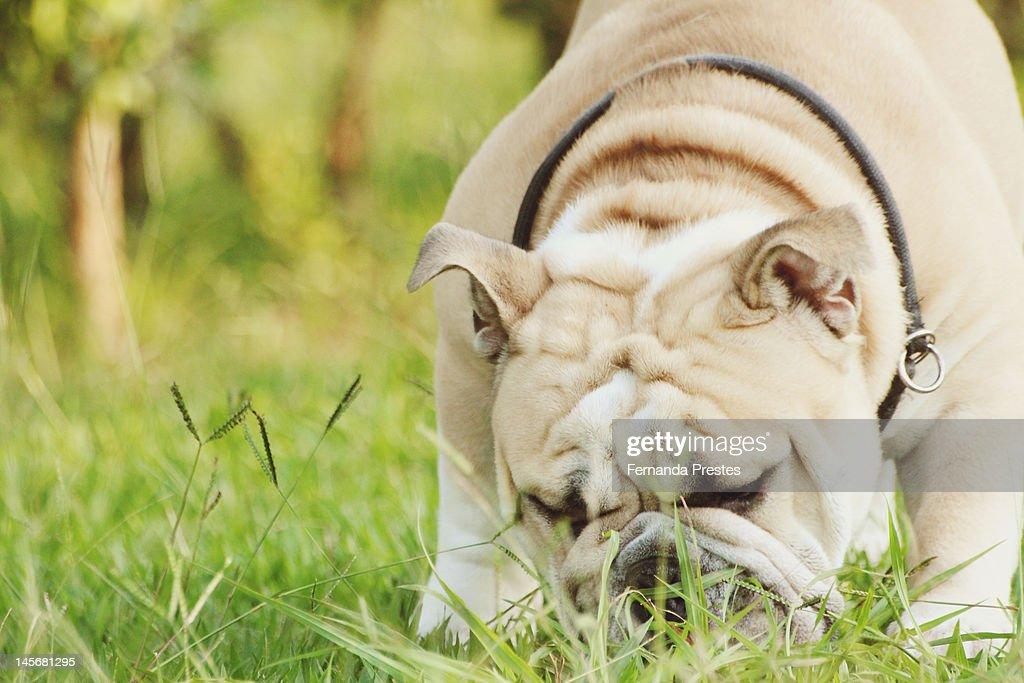 Bulldog : Stock Photo