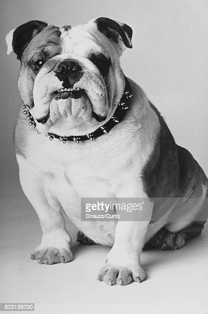 Ugly Bulldog Stock Photos And Pictures Getty Images