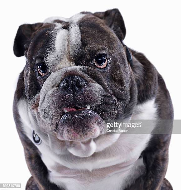 bulldog - aggression stock pictures, royalty-free photos & images