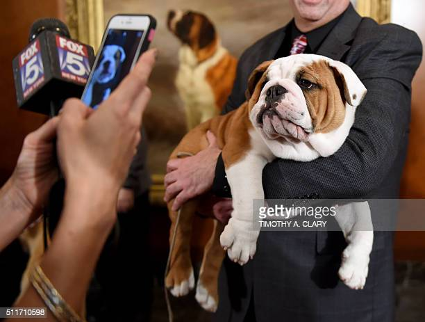 A Bulldog poses for photographers during a news conference February 22 2016 in New York at the American Kennel Club who revealed its much anticipated...