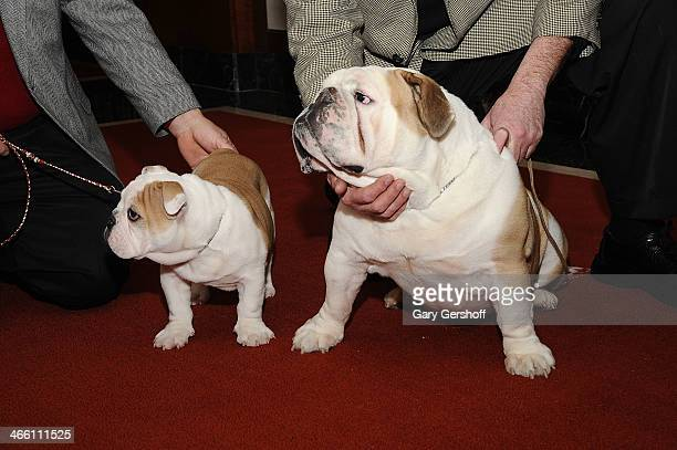 Bulldog Pup and adult Bulldog seen during the American Kennel Club's Most Popular Breeds 2013 press conference on January 31 2014 in New York City