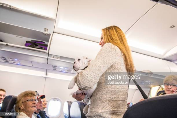 Bulldog puppy being held by owner as she finds her seat on an airplane