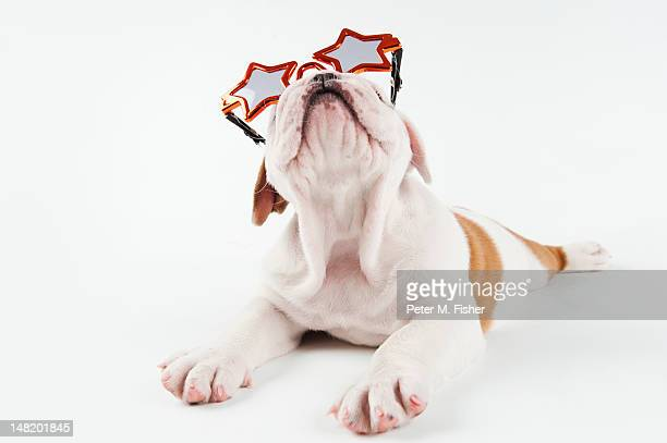 Bulldog puppy wearing groovy sunglasses