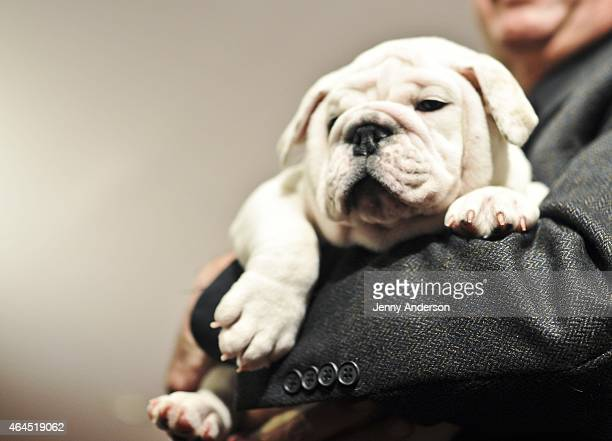 Bulldog puppy Winter attends the American Kennel Club Top Breeds of 2014 reveal at AKC Headquarters on February 26 2015 in New York City