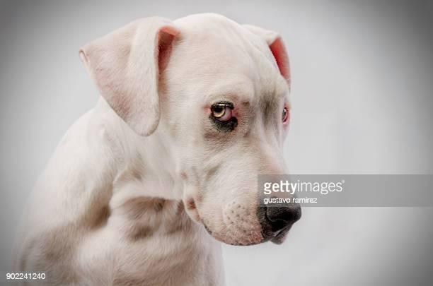 bulldog puppy with black eye - bulldog frances imagens e fotografias de stock