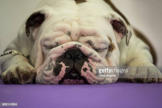A bulldog rests before competing at the 141st Westminster Kennel Club Dog Show February 13 2017 in New York City There are 2874 dogs entered in this...
