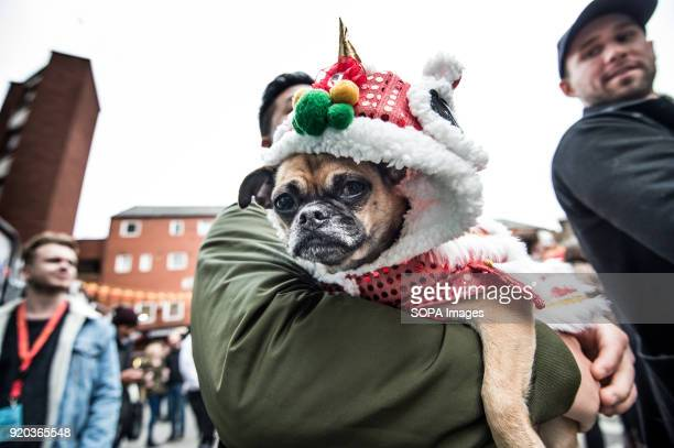 A bulldog seen in Chinatown as people celebrate the year of dog Londoners gather in London's chinatown and trafalgar square to celebrate Chinese new...
