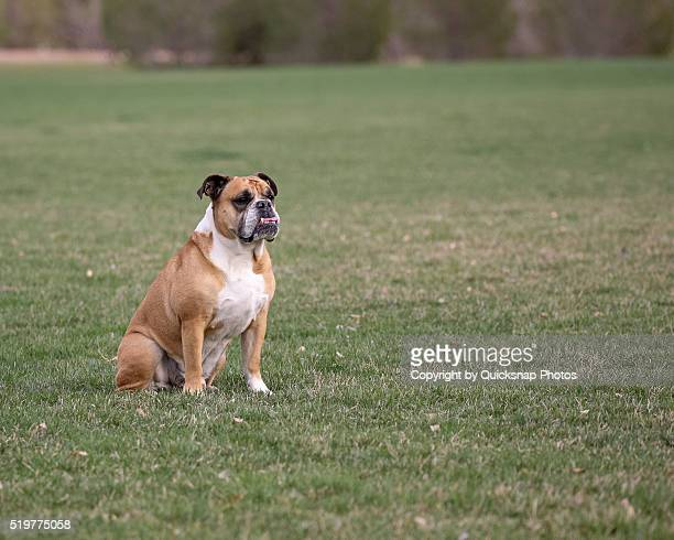 Bulldog sitting in an open field
