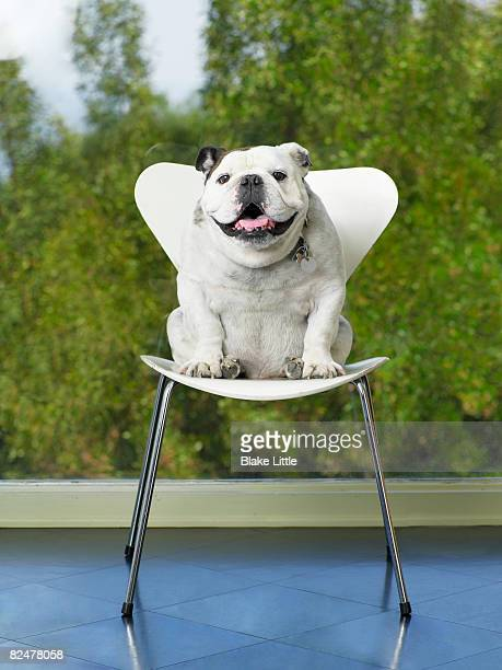 Bulldog sitting on chair