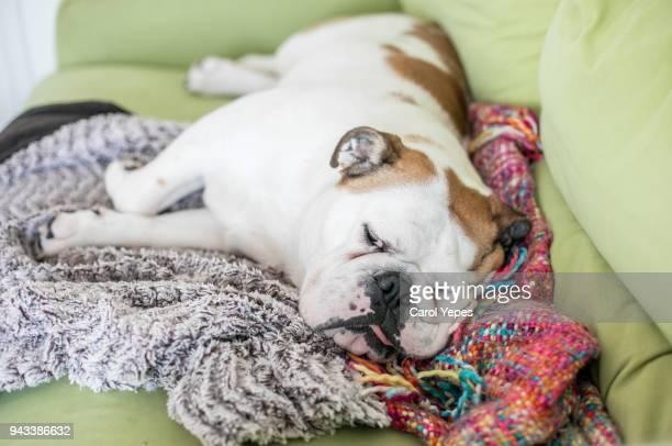bulldog sleeping on sofa at home