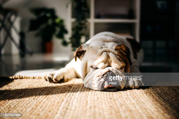 bulldog sleeping - english bulldog stock pictures, royalty-free photos & images