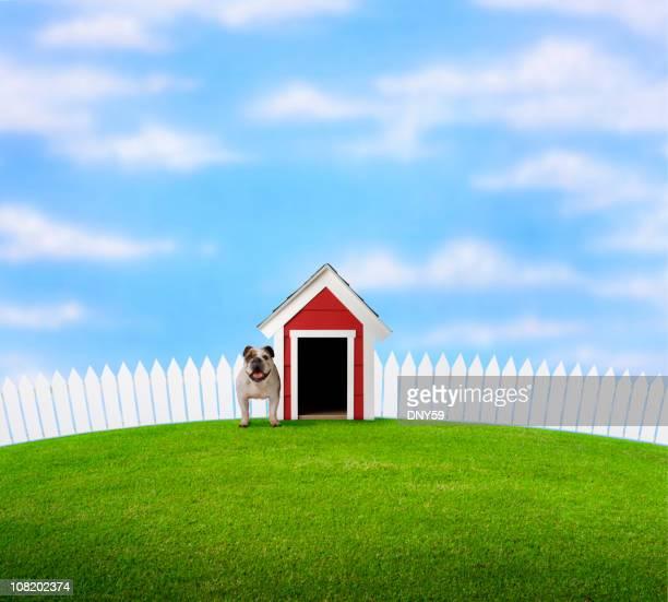 Bulldog Standing in Yard Beside Doghouse